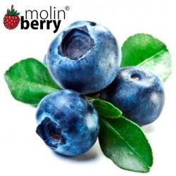 Blueberry (Molinberry)