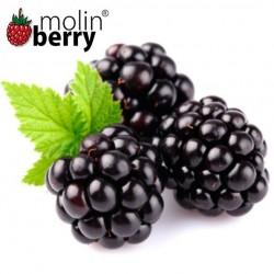 Dark Blackberry (Molinberry)